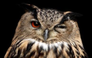 Winking_owl
